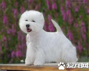 a_西高地白梗是哪个国家 来自苏格兰西部的狗狗[新闻]